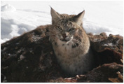 Bobcat in a Bison 4432 - Copyright MacNeil Lyons Images