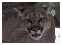 Cougar 2 - Copyright MacNeil Lyons Images
