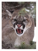 Cougar 3 - Copyright MacNeil Lyons Images