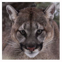 Cougar 6 - Copyright MacNeil Lyons Images