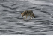 Coyote On Thin Ice - Copyright MacNeil Lyons Images