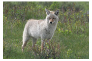 Spring Coyote - Copyright MacNeil Lyons Images