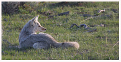 Coyote_Waiting_Game_Copyright_MacNeil_Lyons_Images