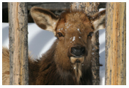 Cow Elk in Winter - Copyright MacNeil Lyons Images