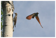 Parental_Flickers_Copyright_MacNeil_Lyons_Images