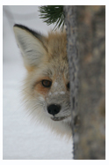 Fox Face - Copyright MacNeil Lyons Images
