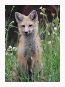 Fox Kit Two - Copyright MacNeil Lyons Images