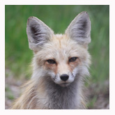 Pondering Fox - Copyright MacNeil Lyons Images