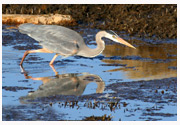 Great_Blue_Heron_Copyright_MacNeil_Lyons_Images