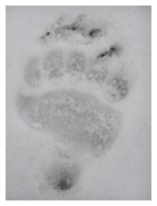 Grizzly_Bear_Track_Copyright_MacNeil_Lyons_Images