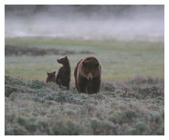 Grizzly_Bear_Family_Copyright_MacNeil_Lyons_Images