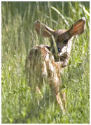 Mule Deer Fawn 2 - Copyright MacNeil Lyons Images