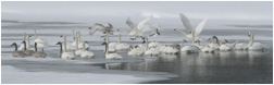Trumpeter Swans - Copyright MacNeil Lyons Images