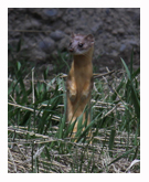 Long-tailed Weasel 1 - Copyright MacNeil Lyons Images