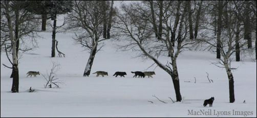 Druid Peak Wolf Pack - Copyright MacNeil Lyons Images
