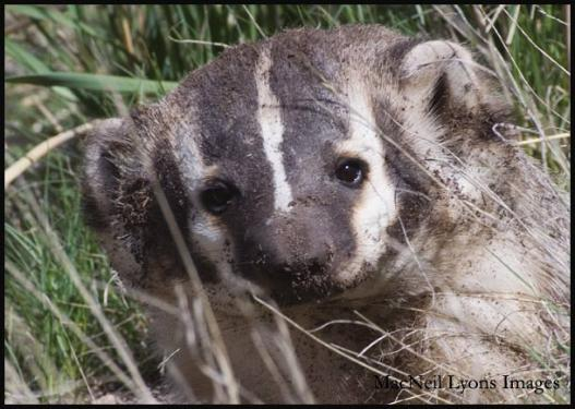 American Badger - Copyright MacNeil Lyons Images