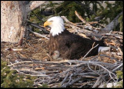Bald Eagle w 1 Chick - Copyright MacNeil Lyons Images