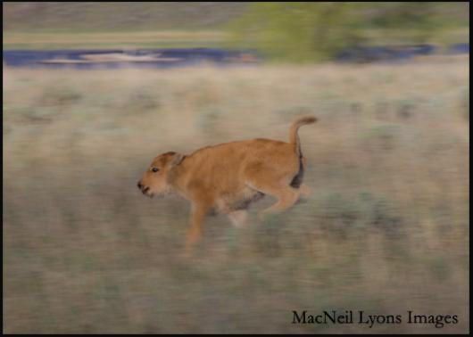 Bison Calf - Copyright MacNeil Lyons Images