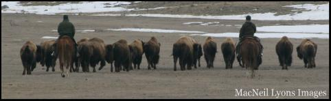 Wild Free Roaming Bison being harrassed by NPS Rangers