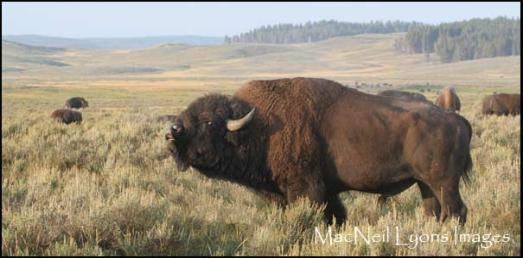 Bison Stare Down - Copyright MacNeil Lyons Images