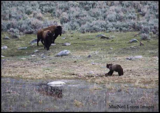 Bison and the Bear - Copyright MacNeil Lyons Images
