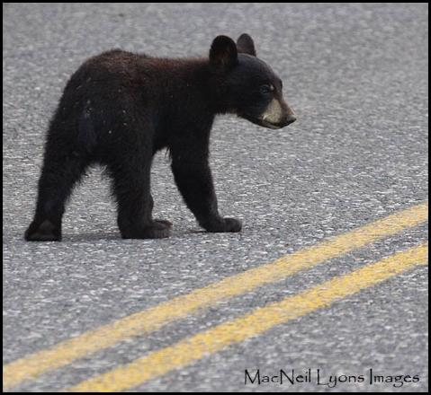 IN the Bear-muda Triangle - Ccopyright MacNeil Lyons Images
