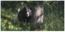 Black Bear Country - Copyright MacNeil Lyons Images