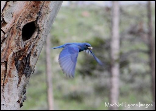 Happy Father's Day Bluebird - Copyright MacNeil Lyons Images