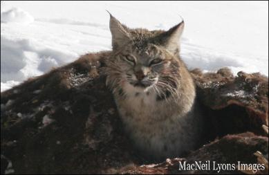 Bobcat IN a Bison - Copyright MacNeil Lyons Images