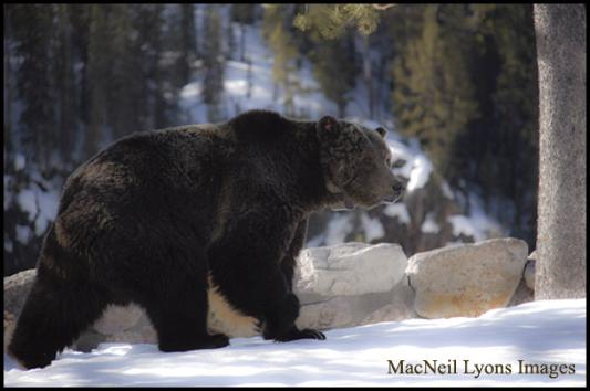 Canyon Grizzly Bear - Copyright MacNeil Lyons Images