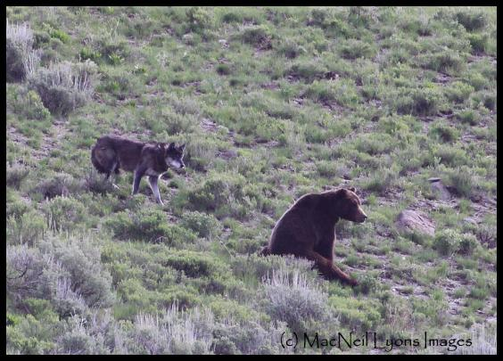 Wolf & Grizzly Interaction (c) MacNeil Lyons Images