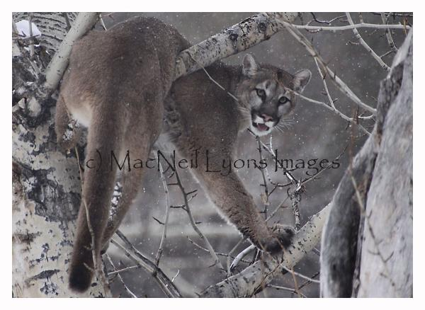 Cougar in Aspen - Copyright MacNeil Lyons Images