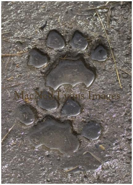 Cougar Tracks - Copyright MacNeil Lyons Images