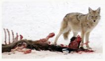 Coyote_Feeding_Copyright_MacNeil_Lyons_Images