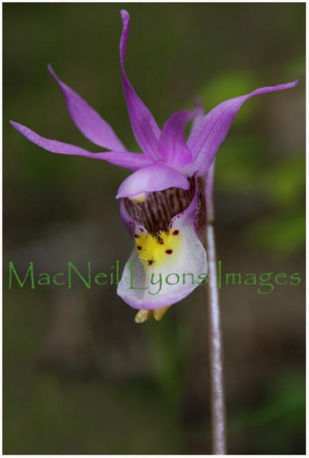 Fairy_Slipper_Copyright_MacNeil_Lyons_Images
