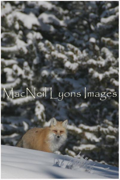 FriendToWinter_CopyrightMacNeilLyonsImages