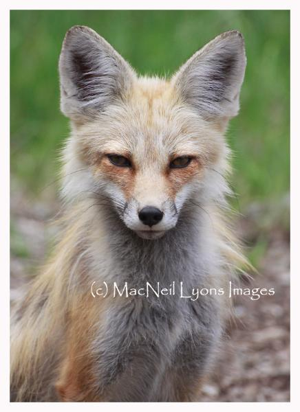 Fox Face Off - Copyright MacNeil Lyons Images
