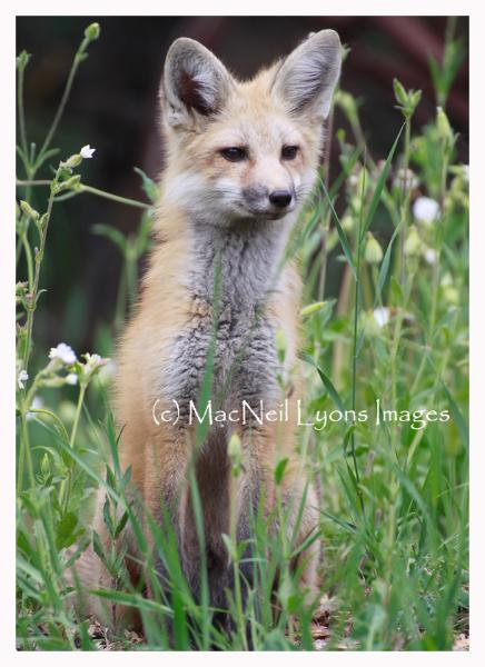 Fox Kit One - Copyright MacNeil Lyons Images