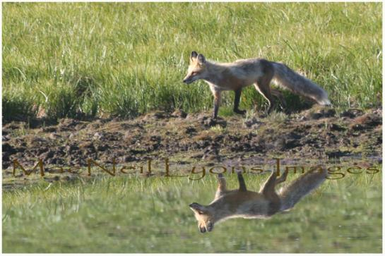 Foxy_Reflection_Copyright_MacNeil_Lyons_Images