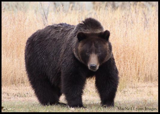 Fred's Grizzly Bear - Copyright MacNeil Lyons Images