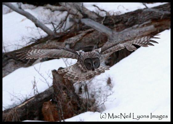 Great Gray Owl & Moon Set (c) MacNeil Lyons Images