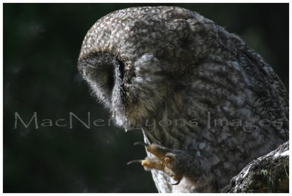 GreatGrayOwl-Scratch_Copyright_MacNeil_Lyons_Images