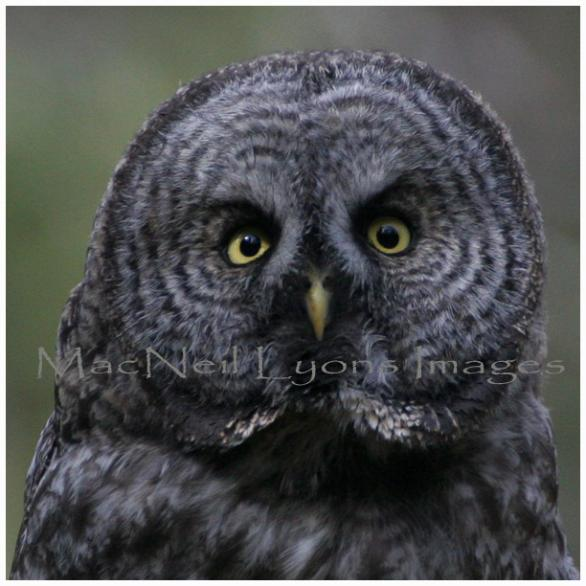 GreatGrayOwl-Stare_Down_Copyright_MacNeil_Lyons_Images