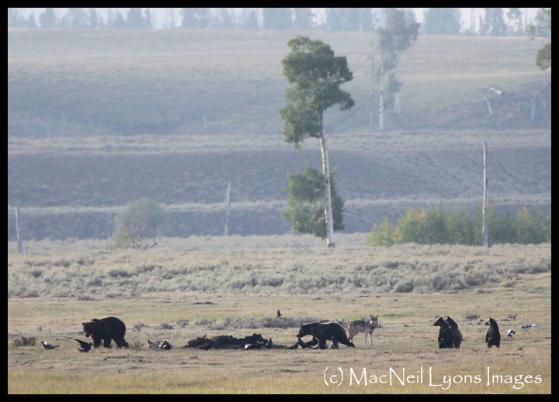 Grizzlies & Wolves Feed on Bison Carcass - (c) MacNeil Lyons Images