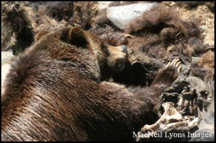 Grizzly Bear - Copyright MacNeil Lyons Images