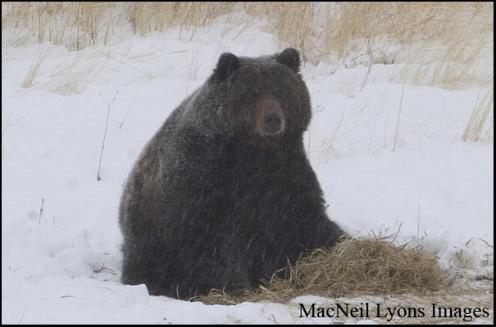 Winter Solstice Grizzly - Copyright MacNeil Lyons Images