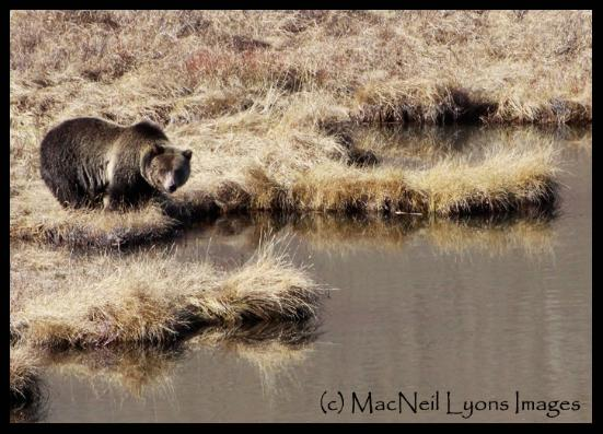 Traveling Autum Grizzly - (c) MacNeil Lyons Images