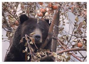 Apple Eatin Grizzly 6 - Copyright MacNeil Lyons Images
