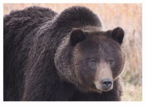 Apple Eatin Grizzly 7 - Copyright MacNeil Lyons Images