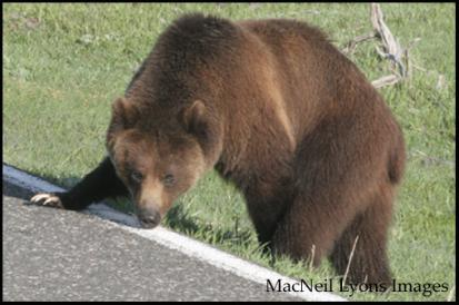 Grizzly Intersection - Copyright MacNeil Lyons Images